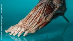 Image: Anatomical model of a human foot; Copyright: Sonja de Sterke/QUT Marketing and Communications