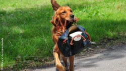Photo: Assistance dog carries a handbag in his mouth ; Copyright: VITA e.V. Assistenzhunde