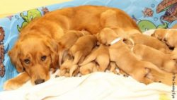 Photo: A mom with her puppies; Copyright: The Seeing Eye