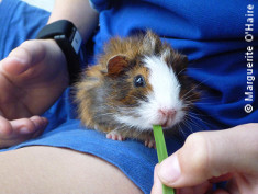 Photo: Guinea pig on a child's lap