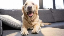 Photo: A Golden Retriever on a couch; Copyright: panthermedia.net/NatashaFedorova