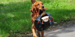 Photo: Assistance dog carries a handbag in his mouth