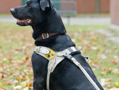 Photo: Guide dog for the blind and harness